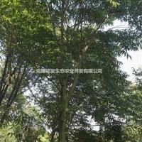 河南南阳河南地区无患子供应:6公分~18公分