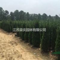 江苏沭阳江苏常年供应60公分~3米高的北京桧