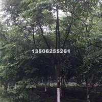 嘉兴栾树15-16公分、浙江货源