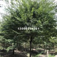嘉兴榉树10-20公分源产地,浙江