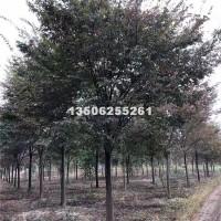 嘉兴榉树10-20公分浙江货源
