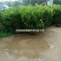江苏宿迁江苏供应优质瓜子黄杨球20cm-150cm...