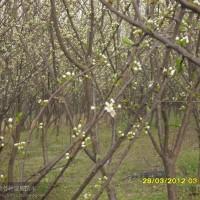江苏沭阳梨树1图片\梨树1报价