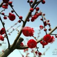 江苏宿迁红梅、绿梅、珍珠梅、榉树、桂花、丹桂、无患...