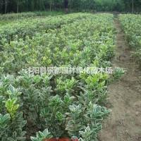 江苏沭阳供应绿化苗木金边黄杨