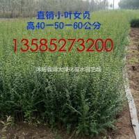 江苏宿迁优质小叶女贞一年苗价格0.1元 绿化工程用...