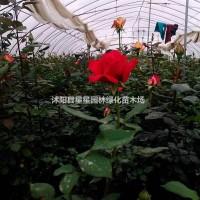 江苏宿迁江苏大量供应月季,玫瑰,欧月,醉贵妃等品种...