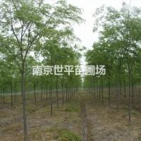 江苏南京南京榉树价格 10公分榉树--20公分榉树...