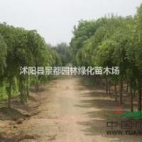 江苏沭阳绿化苗木垂槐 垂枝槐 盆槐多种规格