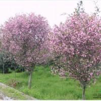 江苏苏州供应:垂丝海棠、樱花、鸡爪槭、石楠球、构骨...