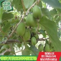 山东泰安组培软枣猕猴桃树苗近期价格