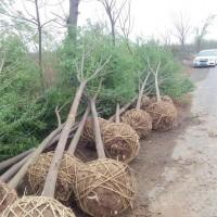 河南许昌丝棉木,优质丝棉木苗木,保证质量,树形好