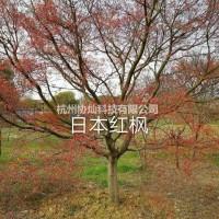 浙江杭州供应精品3-25公分日本红枫红舞姬出售