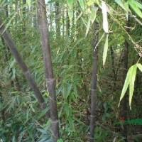 江苏宿迁供应紫竹、紫竹价格、紫竹苗木