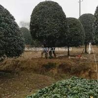 浙江湖州浙江湖州供应2.5-5米精品桂花