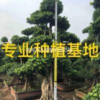 福建漳州小叶榕价格 造型榕树盆景 造型小叶榕桩景 ...
