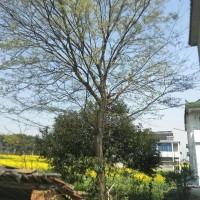 江苏苏州榉树25公分