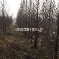 浙江湖州大量供应各种规格水杉