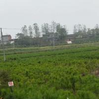 湖北随州台山市湿地松苗-湿地松有售-美洋洋绿化
