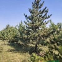 陕西榆林3米,4米 5米油松 油松基地