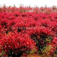 江苏宿迁供应:榆叶梅.金银木、丁香、木槿、红瑞木