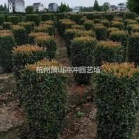 浙江杭州供应精品 石楠柱子 以及石楠球