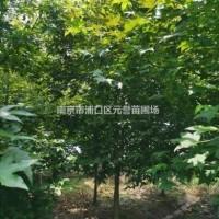江苏南京枫香,6公分、7公分、8公分苗圃价格*手货...