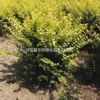 江苏宿迁供应冠幅40-50-60公分金叶女贞球、大...