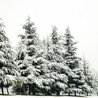 江苏沭阳雪松