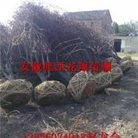 安徽合肥大规格红叶李,苗圃直销,包办检疫证
