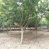 江苏宿迁供应多种规格1-15公分樱花