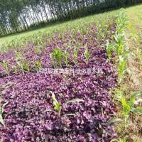 江苏宿迁供应紫叶榨浆草