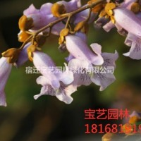 江苏沭阳江苏常年供应规格8公分~18公分泡桐树