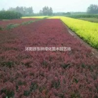 江苏宿迁供应红叶小檗价格、红叶小檗产地、红叶小檗绿...