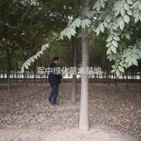 江苏宿迁出售1一30公分榉树