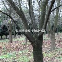 浙江杭州供有大规格樱花6公分到24公分