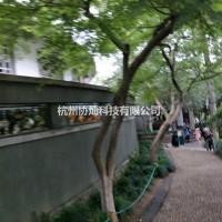 浙江杭州出售6到15公分形态奇异的鸡爪槭,红枫,樱...