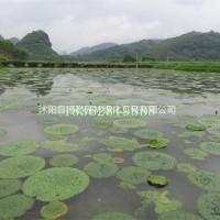 江苏沭阳观赏植物芡实 水生植物基地直销芡实苗