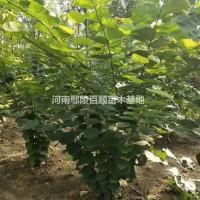 河南许昌河南鄢陵供应批发0.5-3米冠幅丛生紫荆