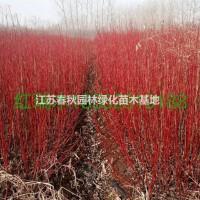 江苏宿迁江苏供应大量红瑞木 如图所示