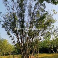 江苏镇江大量供应30公分到200公分丛生黄连木