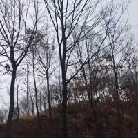 河南南阳供应3-25公分栓皮栎