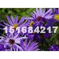 杭州供应荷兰菊 荷兰菊价格图片 荷