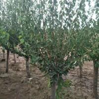 河南许昌大量红梅供应6-12公分
