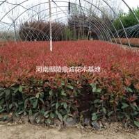 河南许昌2017河南红叶石楠大量供应
