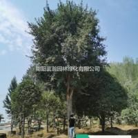 河南南阳供应20-30公分精品三角枫