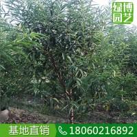 福建漳州碧桃高度3米,碧桃造型齐