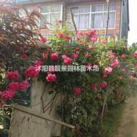 江苏沭阳日本蔷薇月季基地批发 日本蔷薇苗1.2米高...