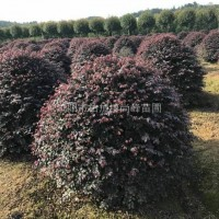 湖南长沙湖南冠幅1米――1.5米红花继木精球出售