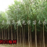 江苏沭阳江苏榆树、榆树苗